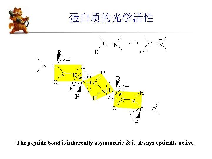 蛋白质的光学活性 The peptide bond is inherently asymmetric & is always optically active