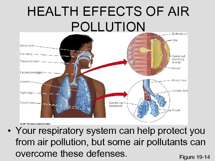 HEALTH EFFECTS OF AIR POLLUTION • Your respiratory system can help protect you from
