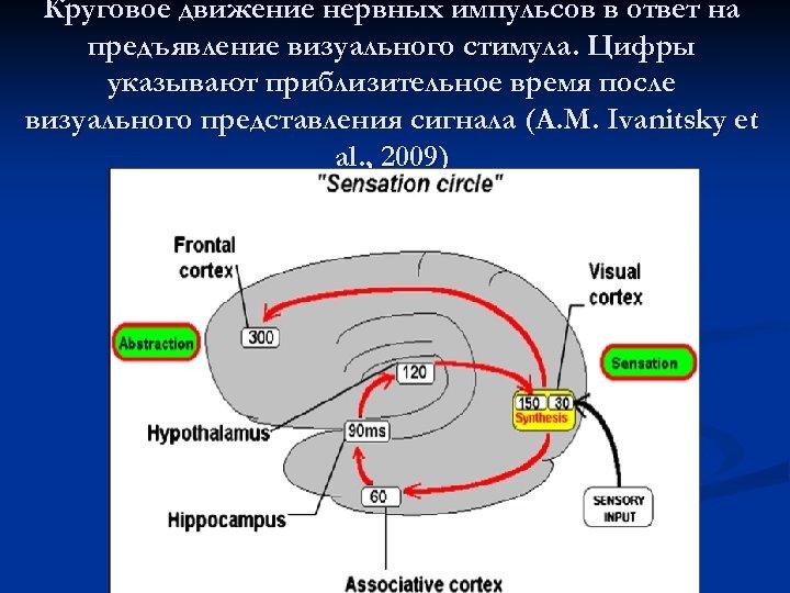 Круговое движение нервных импульсов в ответ на предъявление визуального стимула. Цифры указывают приблизительное время