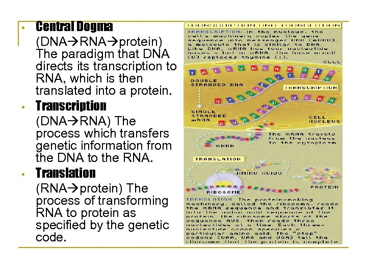 • • • Central Dogma (DNA RNA protein) The paradigm that DNA directs