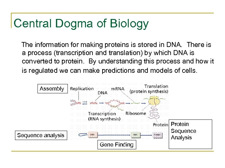 Central Dogma of Biology The information for making proteins is stored in DNA. There