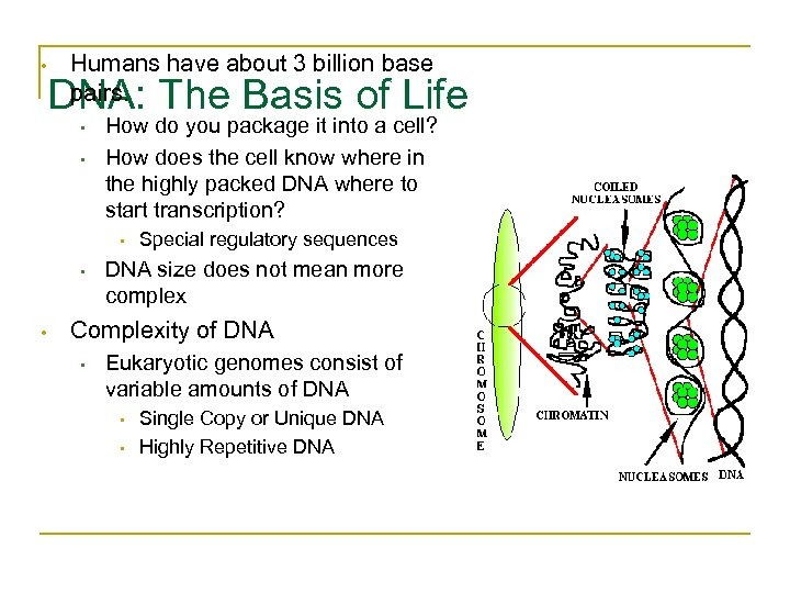 • Humans have about 3 billion base pairs. DNA: The Basis of Life
