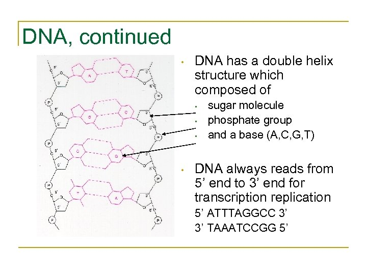 DNA, continued • DNA has a double helix structure which composed of • •