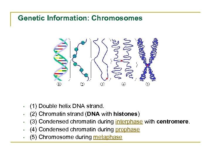 Genetic Information: Chromosomes • • • (1) Double helix DNA strand. (2) Chromatin strand