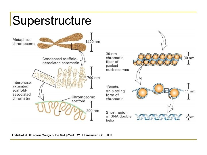 Superstructure Lodish et al. Molecular Biology of the Cell (5 th ed. ). W.
