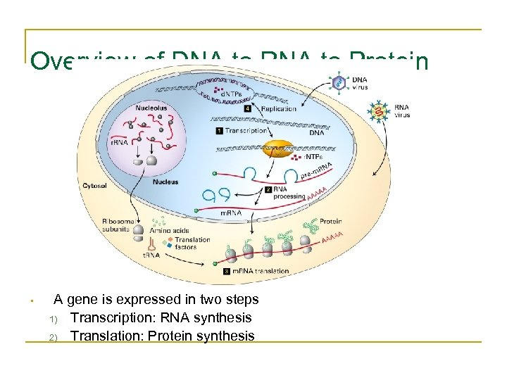 Overview of DNA to RNA to Protein • A gene is expressed in two