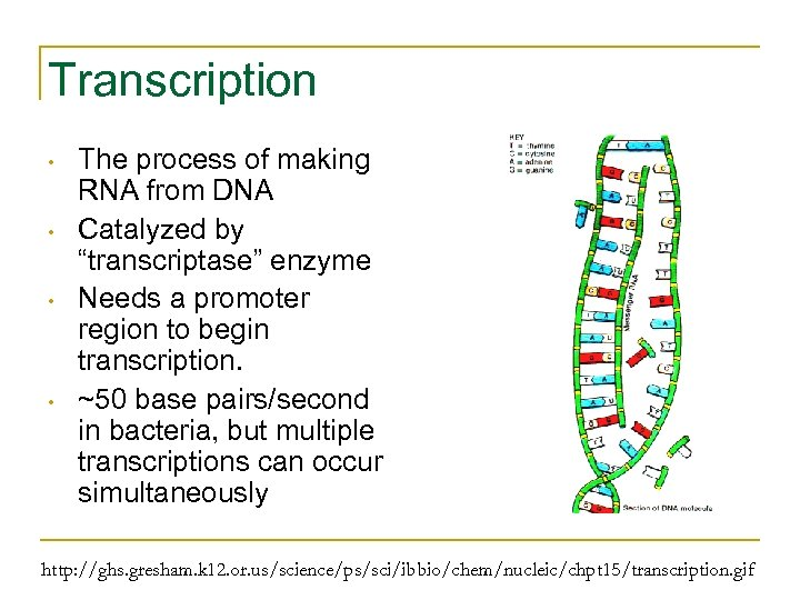 """Transcription • • The process of making RNA from DNA Catalyzed by """"transcriptase"""" enzyme"""