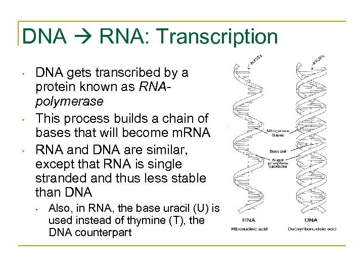 DNA RNA: Transcription • • • DNA gets transcribed by a protein known as