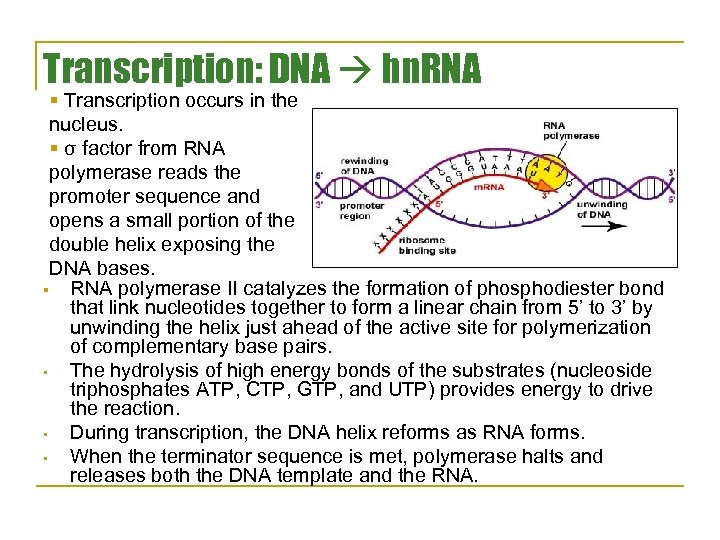 Transcription: DNA hn. RNA § Transcription occurs in the nucleus. § σ factor from