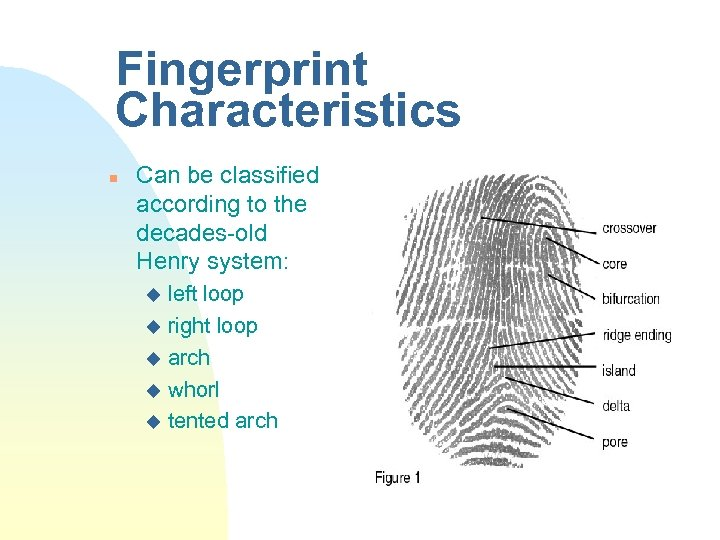 Fingerprint Characteristics n Can be classified according to the decades-old Henry system: left loop