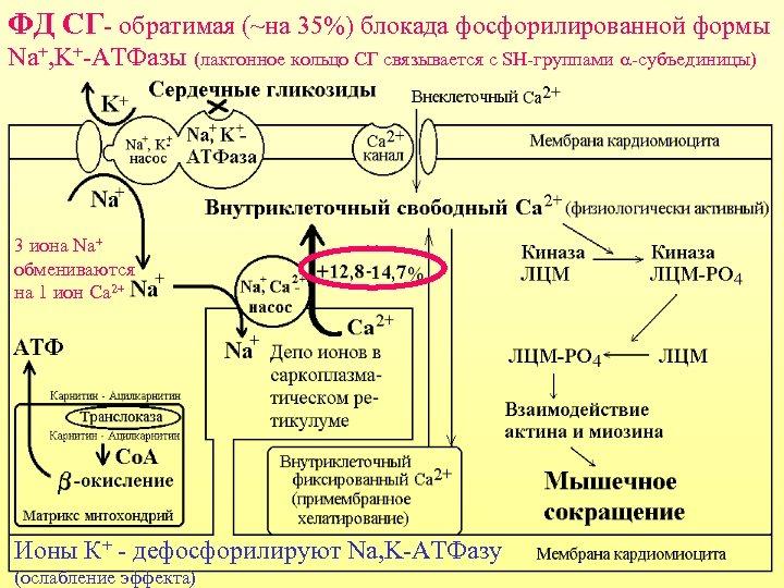 ФД СГ- обратимая (~на 35%) блокада фосфорилированной формы Nа+, K+-ATФазы (лактонное кольцо СГ связывается