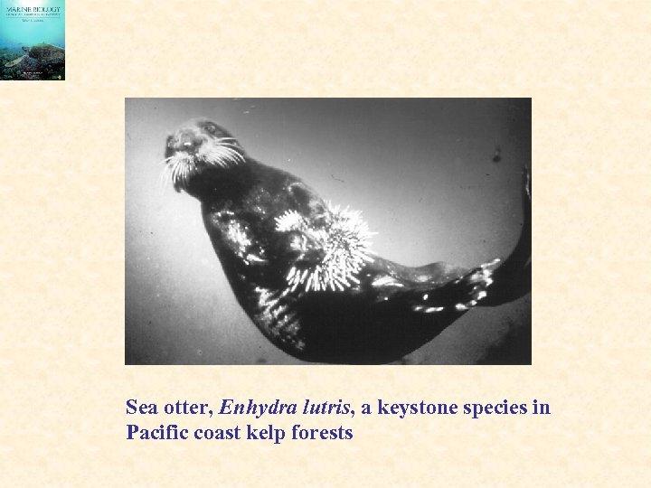 Sea otter, Enhydra lutris, a keystone species in Pacific coast kelp forests