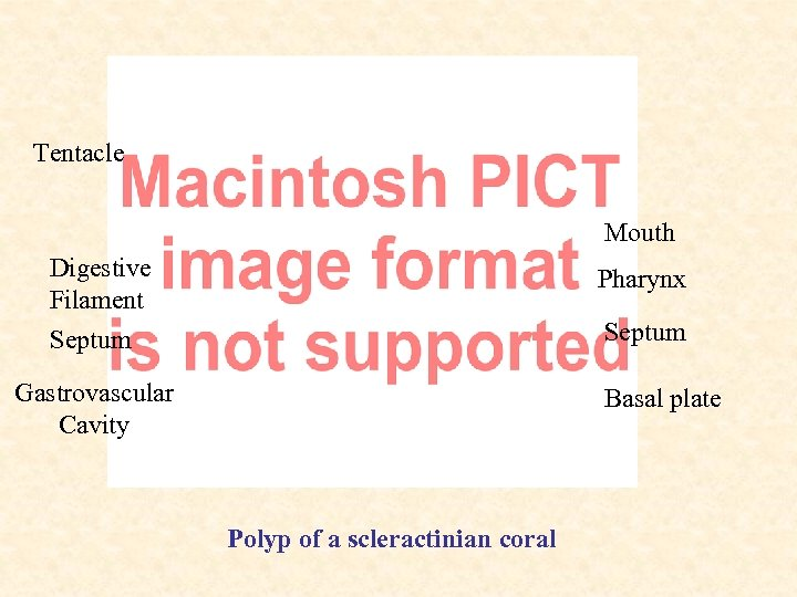 Tentacle Mouth Digestive Filament Septum Pharynx Septum Gastrovascular Cavity Basal plate Polyp of a