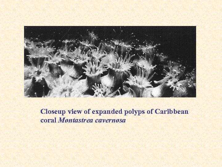 Closeup view of expanded polyps of Caribbean coral Montastrea cavernosa