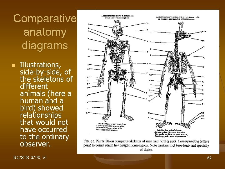 Comparative anatomy diagrams n Illustrations, side-by-side, of the skeletons of different animals (here a