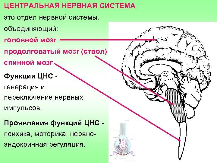 ЦЕНТРАЛЬНАЯ НЕРВНАЯ СИСТЕМА это отдел нервной системы, объединяющий: головной мозг продолговатый мозг (ствол) спинной