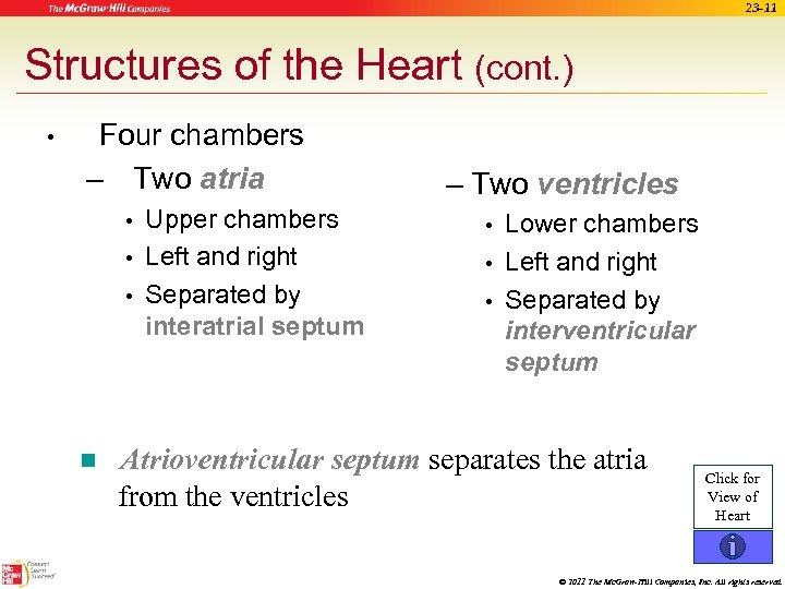 23 -11 Structures of the Heart (cont. ) • Four chambers – Two atria