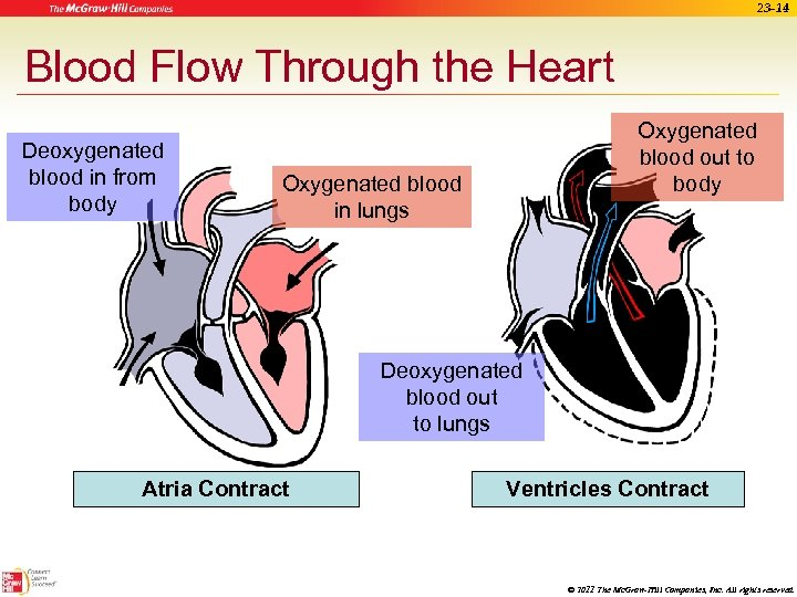 23 -14 Blood Flow Through the Heart Deoxygenated blood in from body Oxygenated blood