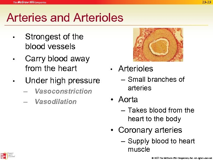 23 -23 Arteries and Arterioles • • • Strongest of the blood vessels Carry