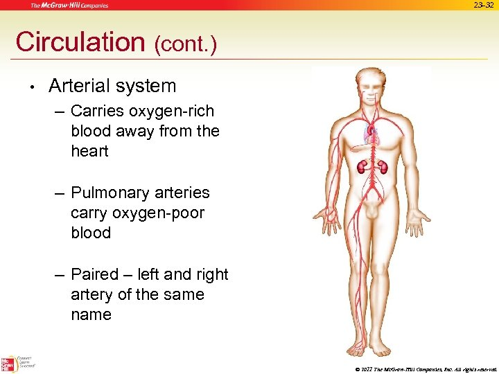 23 -32 Circulation (cont. ) • Arterial system – Carries oxygen-rich blood away from
