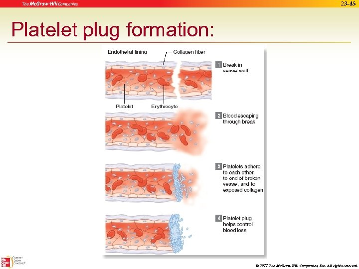 23 -45 Platelet plug formation: © 2011 The Mc. Graw-Hill Companies, Inc. All rights