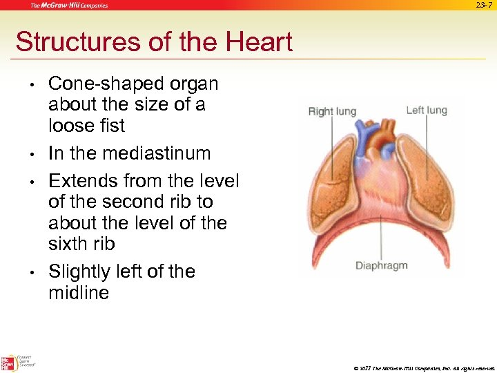 23 -7 Structures of the Heart • • Cone-shaped organ about the size of