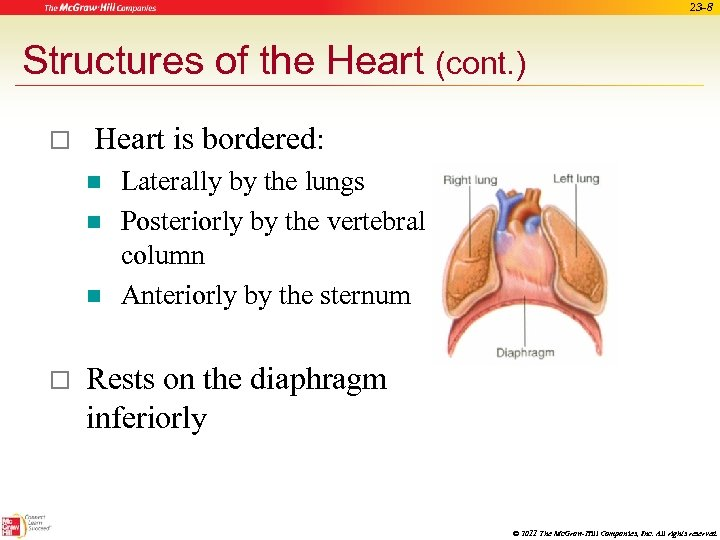 23 -8 Structures of the Heart (cont. ) o Heart is bordered: n n