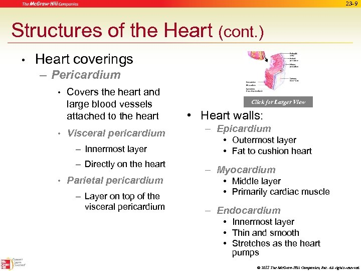 23 -9 Structures of the Heart (cont. ) • Heart coverings – Pericardium •