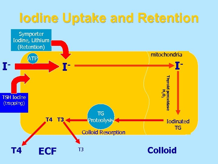 Iodine Uptake and Retention Symporter Iodine, Lithium (Retention) mitochondria ATP I- I- I- TG