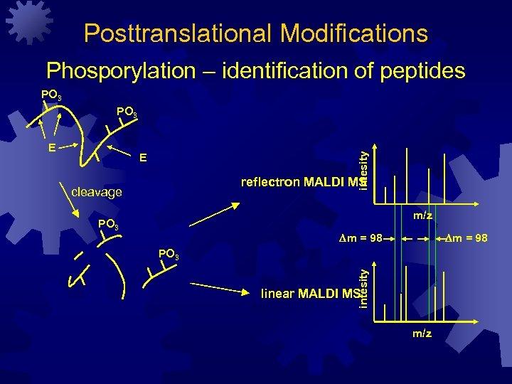 Posttranslational Modifications Phosporylation – identification of peptides PO 3 E reflectron MALDI MS cleavage