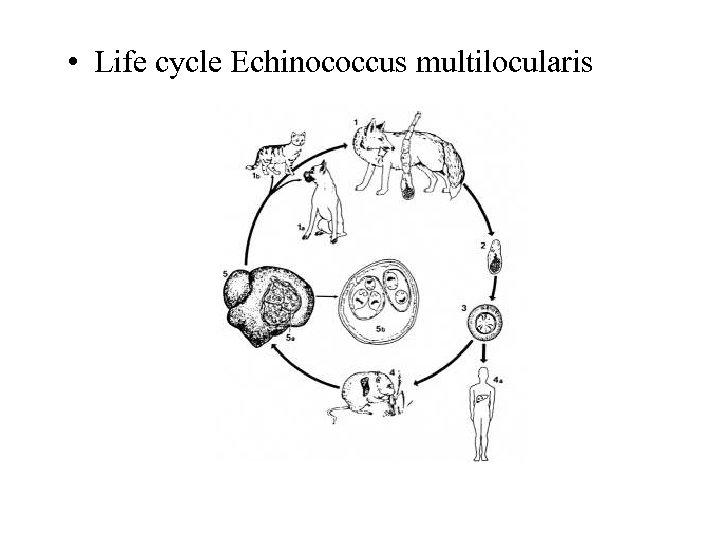 • Life cycle Echinococcus multilocularis