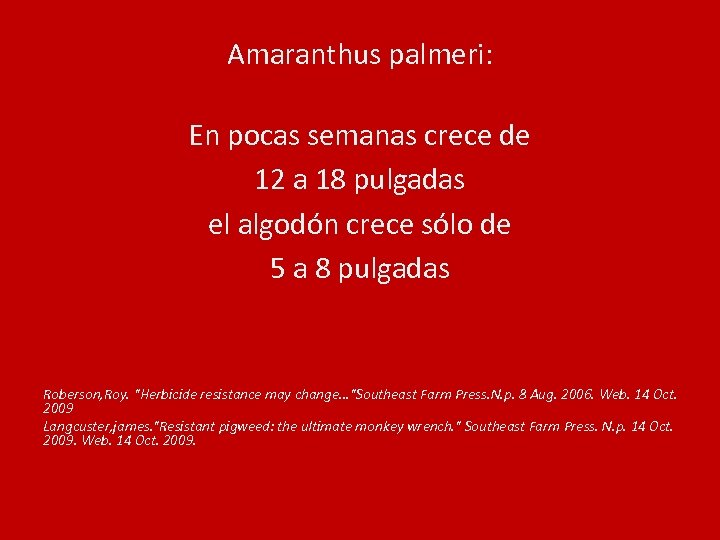 Amaranthus palmeri: En pocas semanas crece de 12 a 18 pulgadas el algodón crece