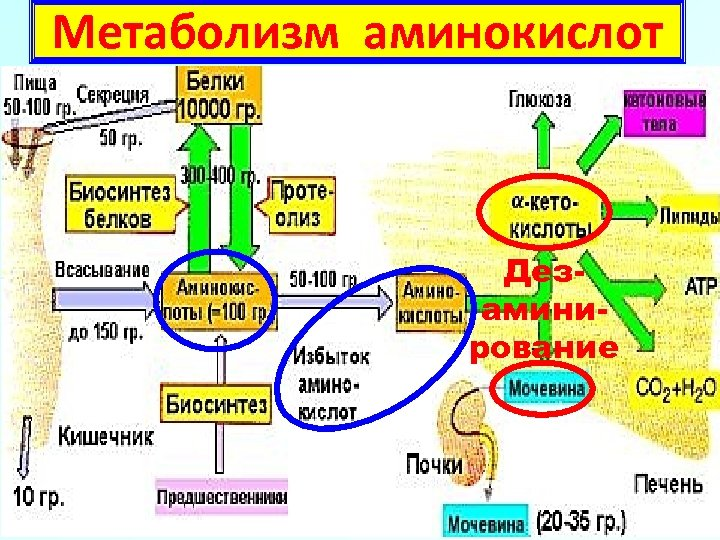 Метаболизм аминокислот Дезаминирование 10