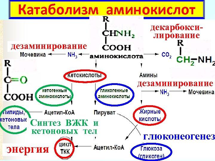 Катаболизм аминокислот декарбоксилирование дезаминирование Синтез ВЖК и кетоновых тел энергия глюконеогенез 11