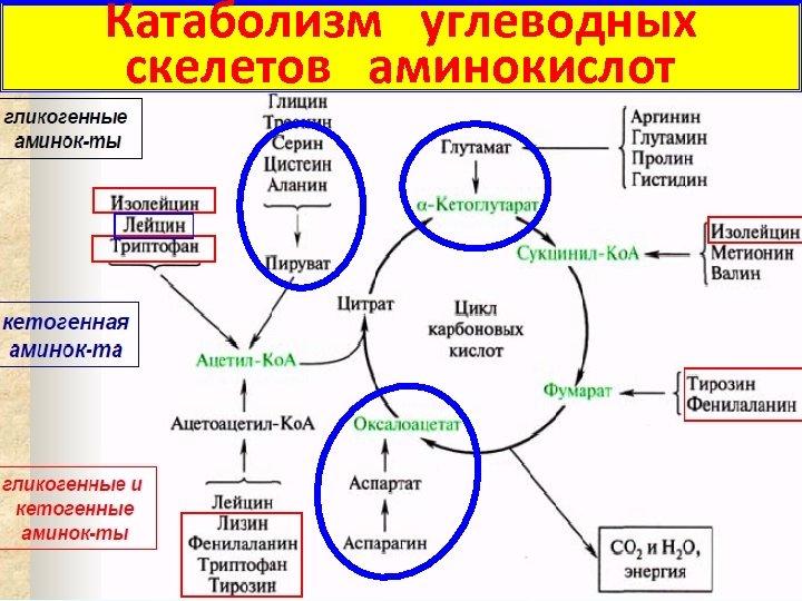 Катаболизм углеводных скелетов аминокислот 12