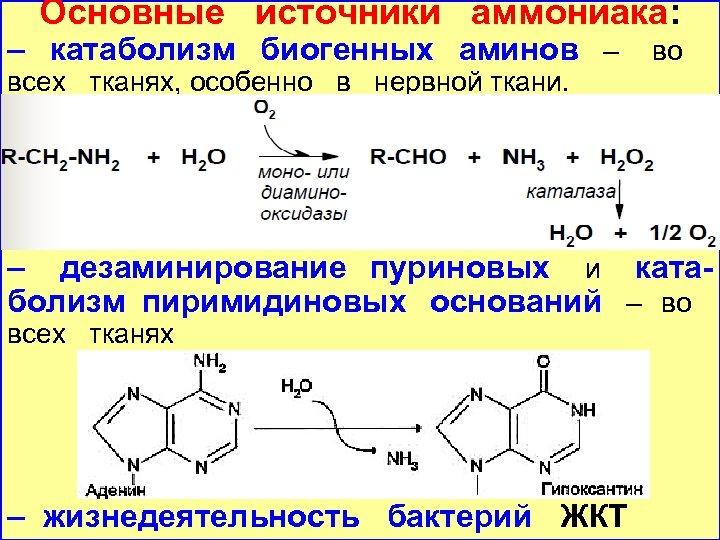Основные источники аммониака: – катаболизм биогенных аминов – всех тканях, особенно в нервной ткани.