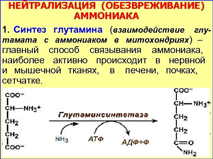 НЕЙТРАЛИЗАЦИЯ (ОБЕЗВРЕЖИВАНИЕ) АММОНИАКА 1. Синтез глутамина (взаимодействие глутамата с аммониаком в митохондриях) – главный