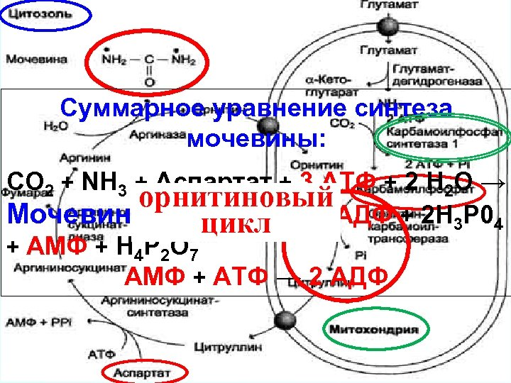 Суммарное уравнение синтеза мочевины: СО 2 + NH 3 + Аспартат + 3 АТФ