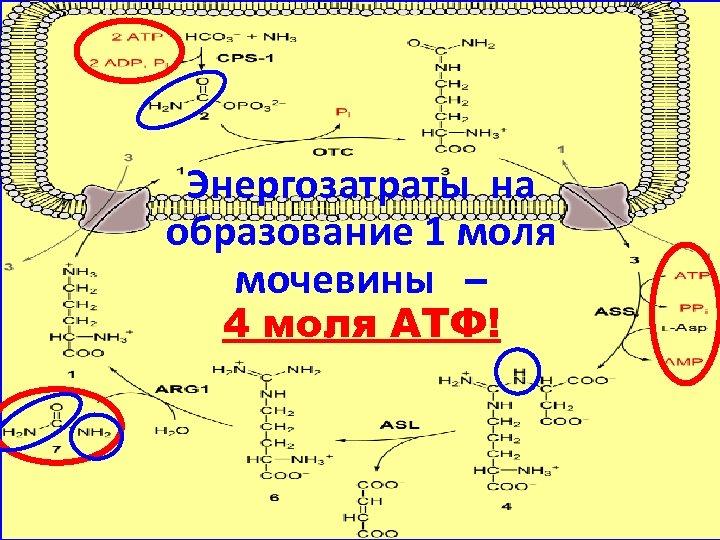 Энергозатраты на образование 1 моля мочевины – 4 моля АТФ!