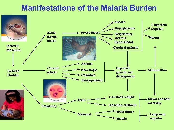 Manifestations of the Malaria Burden Anemia Hypoglycemia Acute febrile illness Severe illness Infected Mosquito