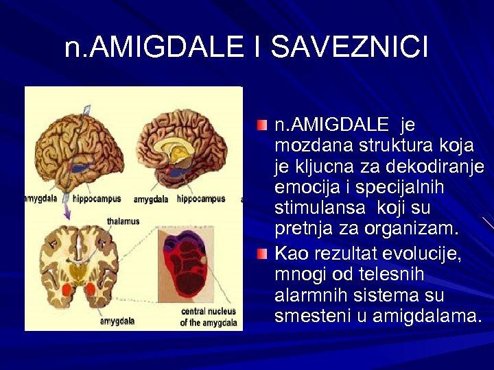 n. AMIGDALE I SAVEZNICI n. AMIGDALE je mozdana struktura koja je kljucna za dekodiranje