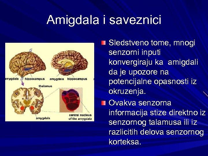 Amigdala i saveznici Sledstveno tome, mnogi senzorni inputi konvergiraju ka amigdali da je upozore