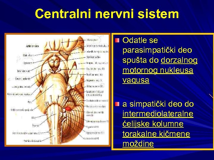 Centralni nervni sistem Odatle se parasimpatički deo spušta do dorzalnog motornog nukleusa vagusa a