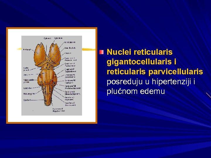 Nuclei reticularis gigantocellularis i reticularis parvicellularis posreduju u hipertenziji i plućnom edemu