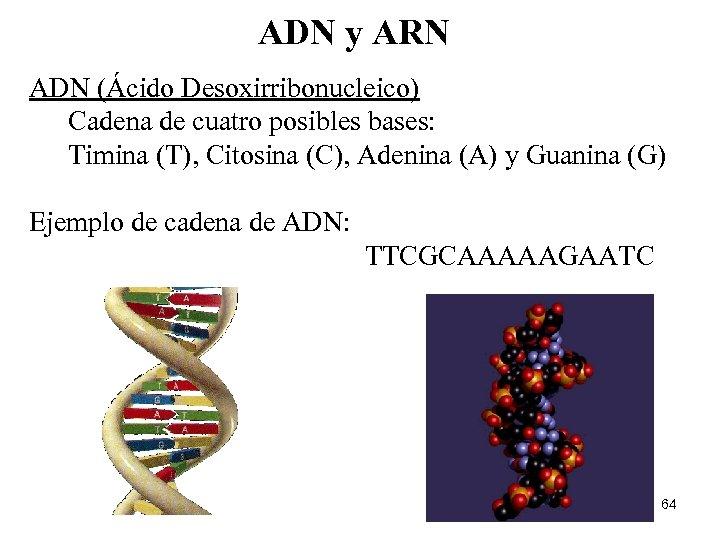 ADN y ARN ADN (Ácido Desoxirribonucleico) Cadena de cuatro posibles bases: Timina (T), Citosina