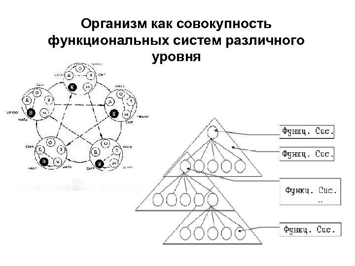 Организм как совокупность функциональных систем различного уровня