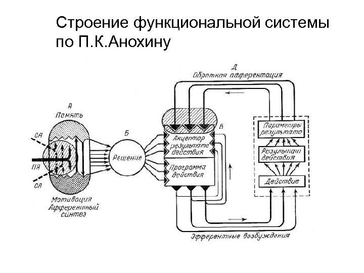 Строение функциональной системы по П. К. Анохину