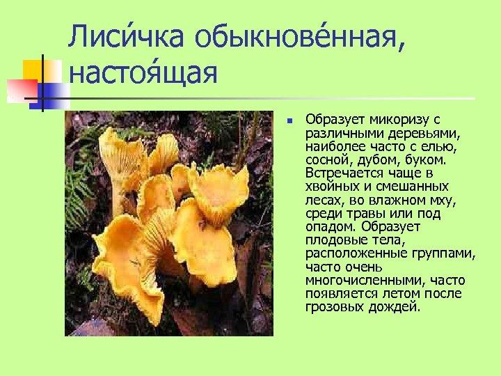 Лиси чка обыкнове нная, настоя щая n Образует микоризу с различными деревьями, наиболее часто