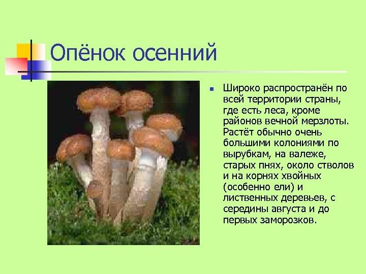 Опёнок осенний n Широко распространён по всей территории страны, где есть леса, кроме районов