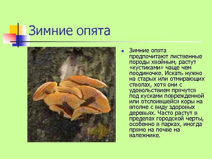 Зимние опята n Зимние опята предпочитают лиственные породы хвойным, растут «кустиками» чаще чем поодиночке.